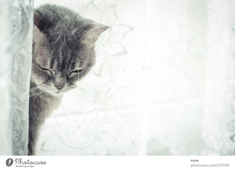 Cat Animal Relaxation Window Gray Bright Authentic Cute Soft Pelt Fatigue Pet Boredom Smooth Curtain Animalistic