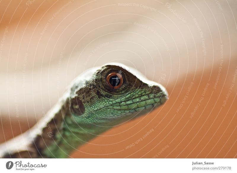 Animal Exceptional Animal face Zoo Reptiles Saurians Lizards Eye colour Reptile eye