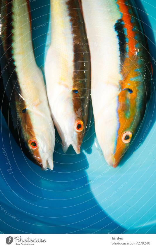 Friday - Fishing day Plate Fishing (Angle) mermaid 3 Animal Authentic Exotic Slimy Beautiful Appetite Colour To enjoy Sustainability Prey Coris julis