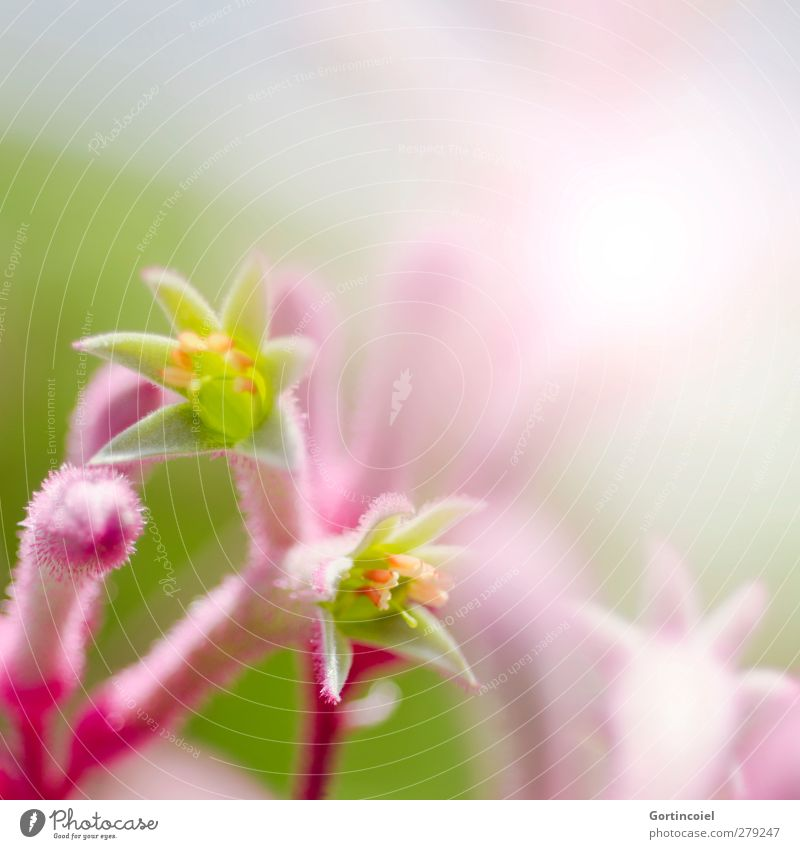 pink Nature Plant Spring Summer Flower Blossom Exotic Beautiful Botanical gardens Decoration Flowering plant Colour photo Close-up Detail