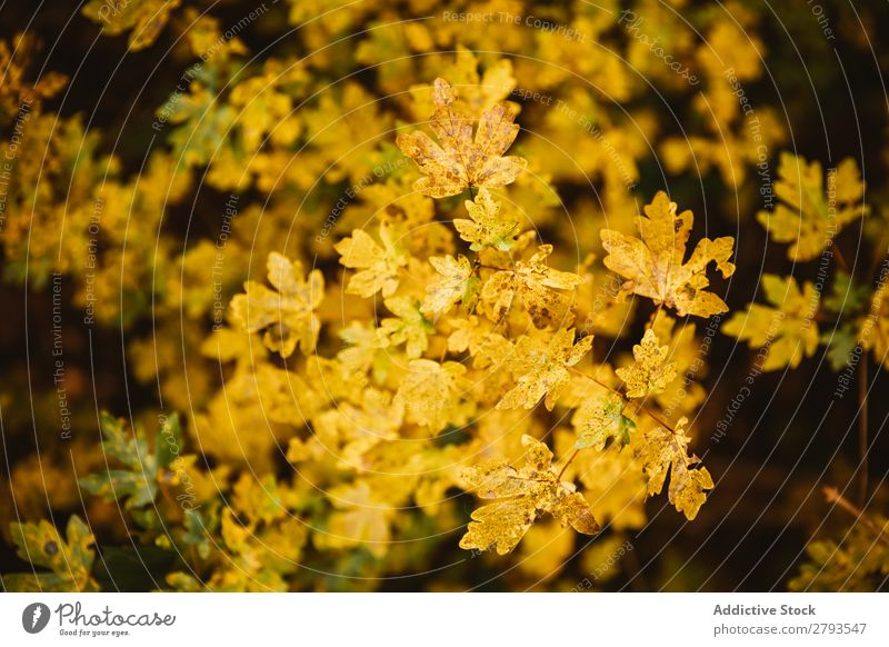 Yellow trees on amazing tree Leaf Tree Autumn Branch of business cantonigros Barcelona Spain Seasons Nature Plant Environment Colour Bright Delicate Fragile