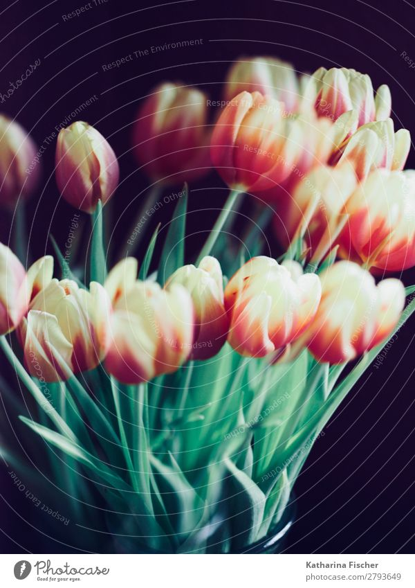 Tulips yellow orange red bouquet of flowers Nature Plant Spring Summer Autumn Flower Leaf Blossom Bouquet Blossoming Illuminate Yellow Green Orange Pink Red