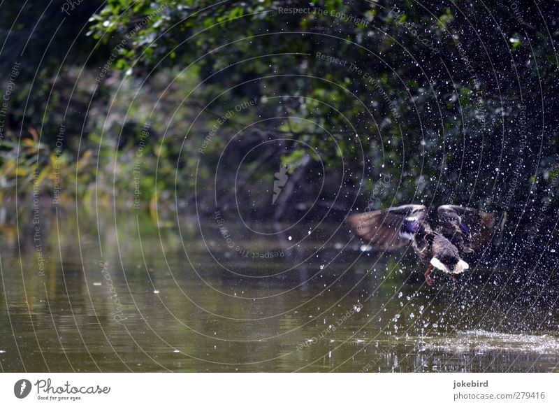 departure Water Drops of water Summer Lakeside River bank Pond Wing Duck Mallard 1 Animal Flying Nature Inject Departure Beginning Colour photo Exterior shot