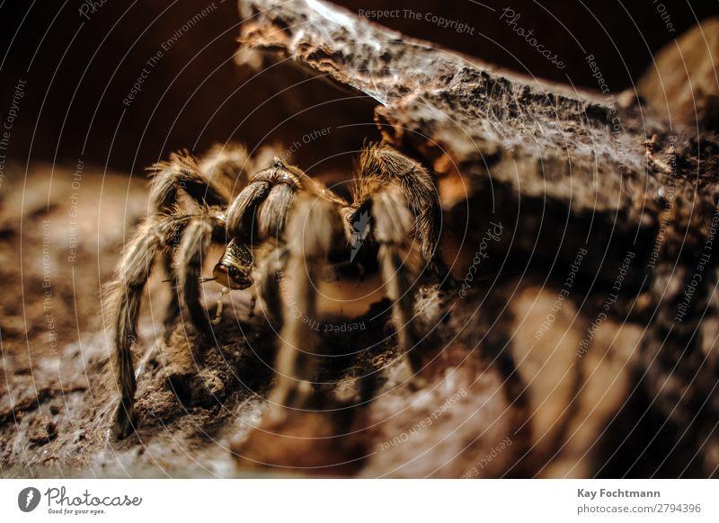 Tarantula Grammostola rosea eating grasshopper animal animal wildlife arachnid araneae brown close-up closeup fang fauna fear grammostola rosea hairy insect