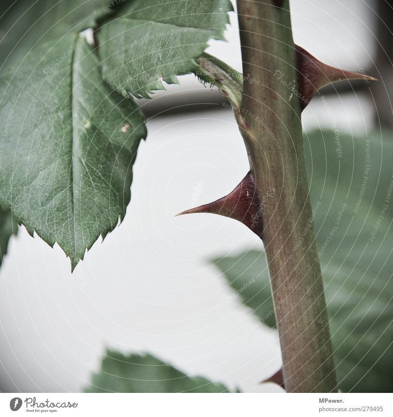self-defense Plant Green Rose Thorn Stalk Leaf Close-up Point Pain Protection Garden Sharp Subdued colour Self-defence