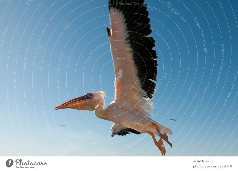low-flying aircraft Nature Sky Sky only Cloudless sky Animal Wild animal Bird 1 Flying Pelican Low-flying plane Wing Span Beak Walvis bay Namibia Colour photo