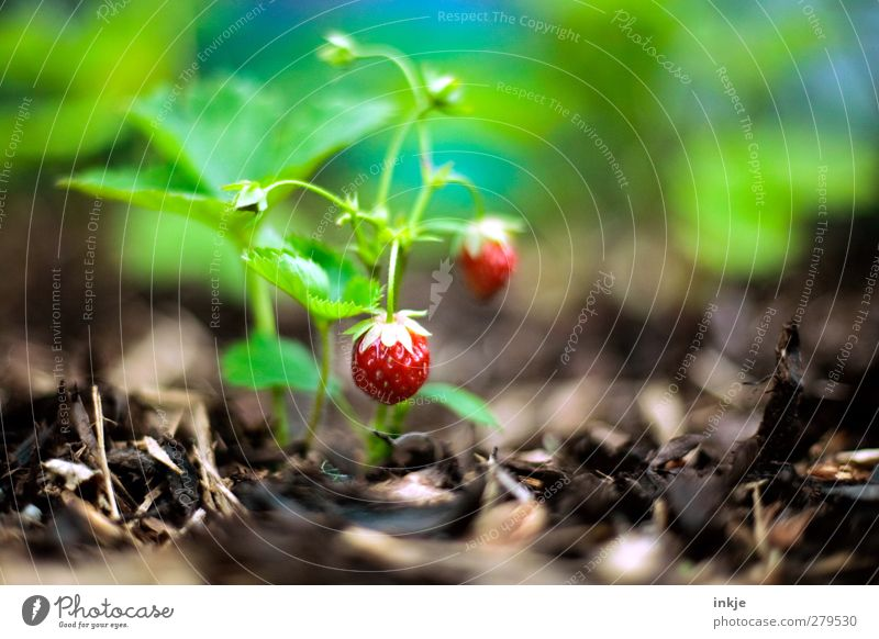 strawberries Food Fruit Strawberry Nutrition Gardening Agriculture Forestry Summer Agricultural crop Growth Fresh Healthy Delicious Sustainability Round Juicy