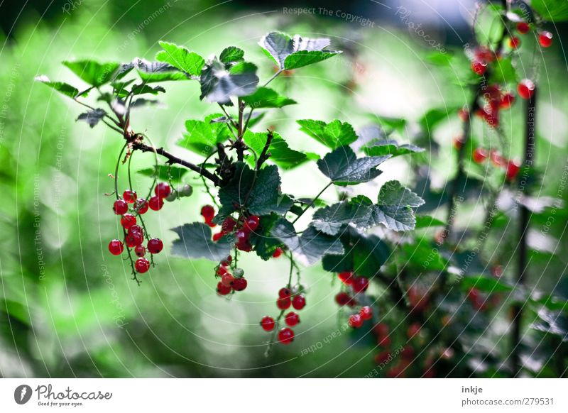 Green Summer Plant Red Garden Healthy Natural Fruit Growth Fresh Nutrition Bushes Sweet Round Agriculture Harvest