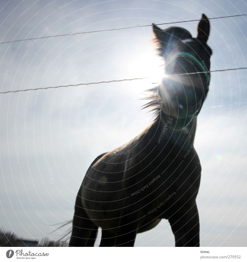 Hiddensee | Backlit willowzausel mare Sky Sun Beautiful weather Animal Farm animal Horse 1 Fence Halter Observe Stand Authentic Large Muscular Natural Curiosity