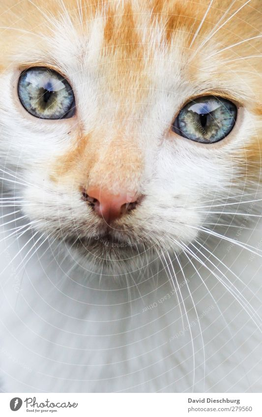 """Star sign """"Leo"""" Animal Pet Cat Animal face Pelt 1 Blue Yellow Gray Green White Contentment Cat eyes Glittering Whisker Nose Snapshot Dreamily Beautiful"""