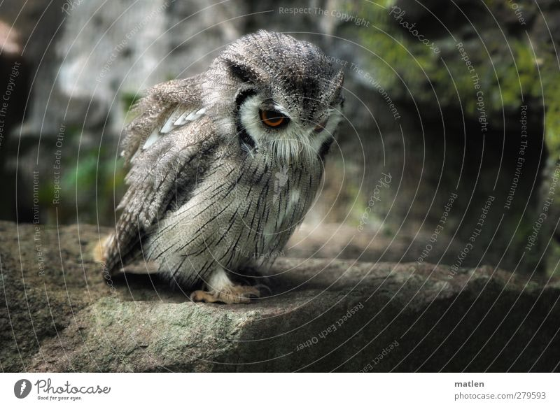 Where's the mouse...? Animal Bird Claw Paw 1 Observe Gray Green Anticipation Watchfulness Rock Owl birds Colour photo Subdued colour Exterior shot Deserted
