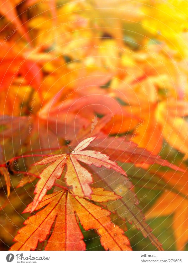 autumnal Nature Plant Autumn Beautiful weather Leaf Norway maple Yellow Orange Red Autumnal colours Colour noise Leaf canopy Bright Colours Colour photo
