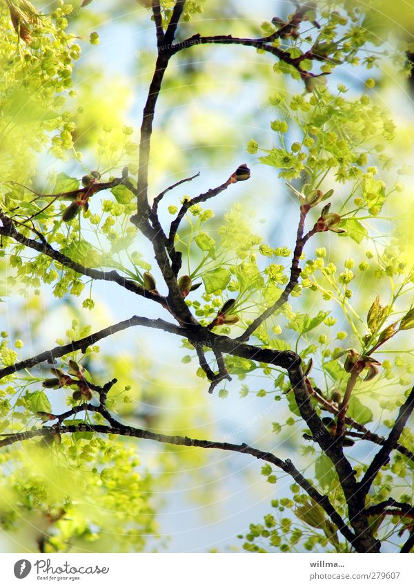 Nature Green Plant Tree Yellow Spring Beautiful weather Branch Blossoming Light blue Bright green Lime tree Spring colours Lime flower