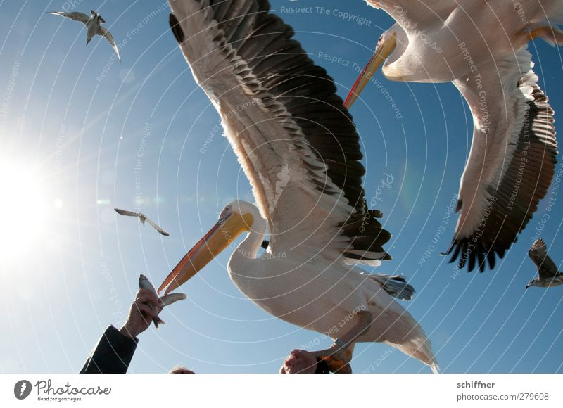 finger food Animal Wild animal Bird Group of animals Flock Flying Feeding Pelican Seagull Arm Hand Fish Crowd of people Muddled Attack Appetite Judder