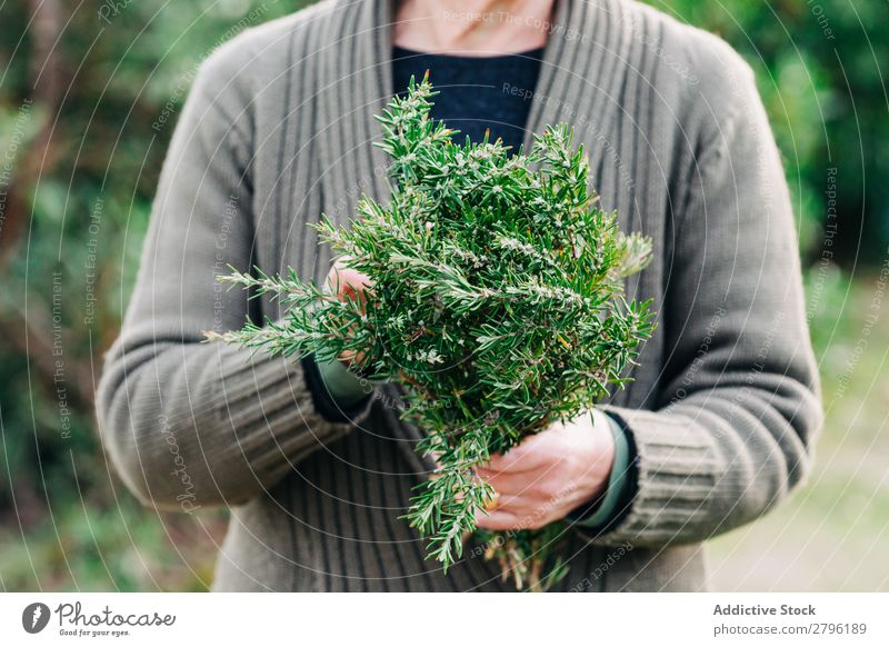 Crop woman with bunch of rosemary Woman Rosemary Garden Green Nature Plant Herbs and spices Harvest