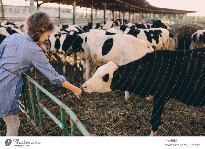 kid girl feeding calf on cow farm. Child Vacation & Travel Nature Summer Green Landscape Lifestyle Environment Happy Small Infancy Authentic Baby Friendliness