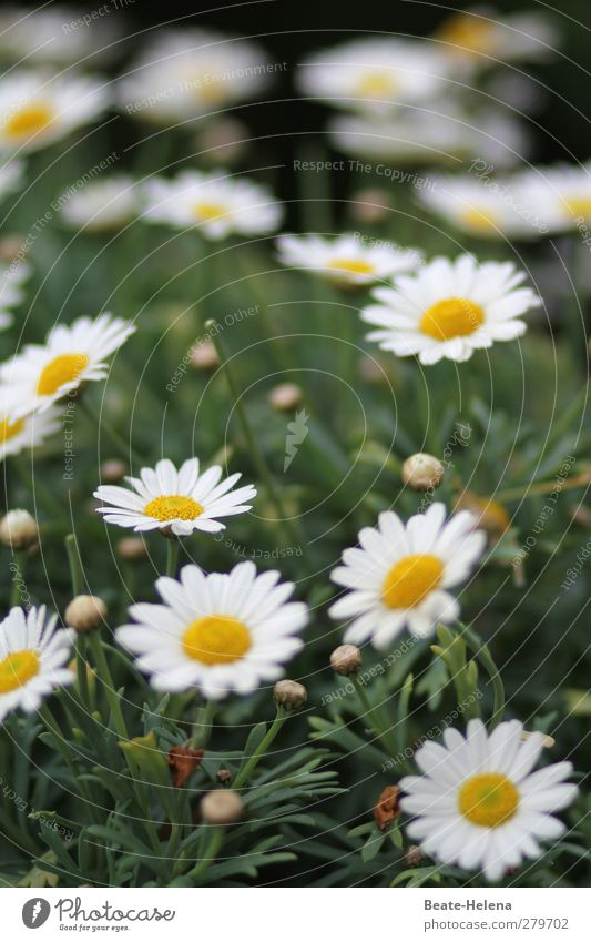 I'll give you a carpet of blossoms. Nature Plant Summer Flower Leaf Blossom Marguerite Garden Meadow Blossoming Illuminate Natural Beautiful Yellow Green White