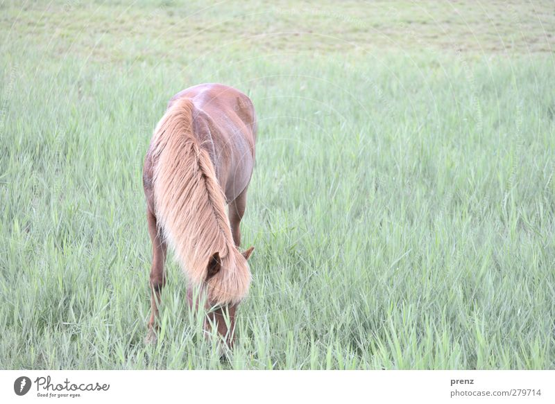 Iceland pony Environment Nature Animal Meadow Farm animal Horse 1 Brown Green Iceland Pony To feed Darss Colour photo Exterior shot Deserted Copy Space right