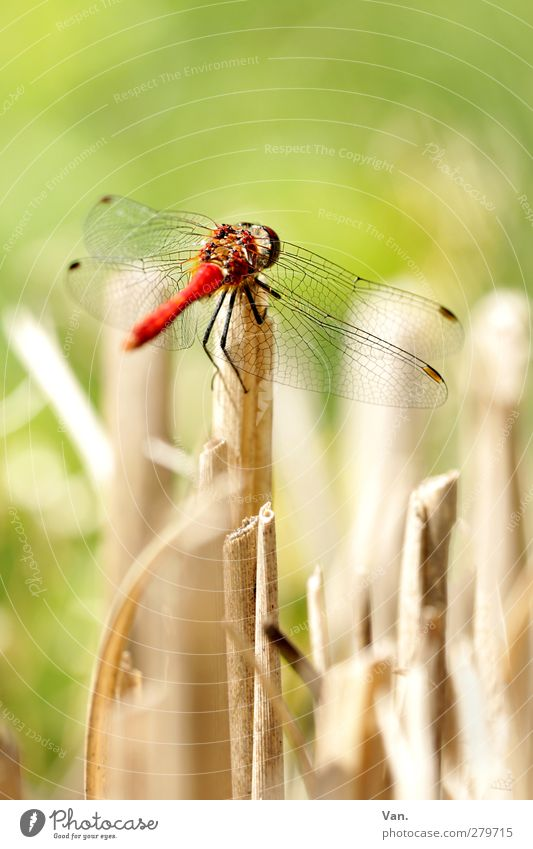 On your mark... Nature Animal Summer Blade of grass Garden Wild animal Wing Insect Dragonfly 1 Fresh Bright Green Red Colour photo Multicoloured Exterior shot