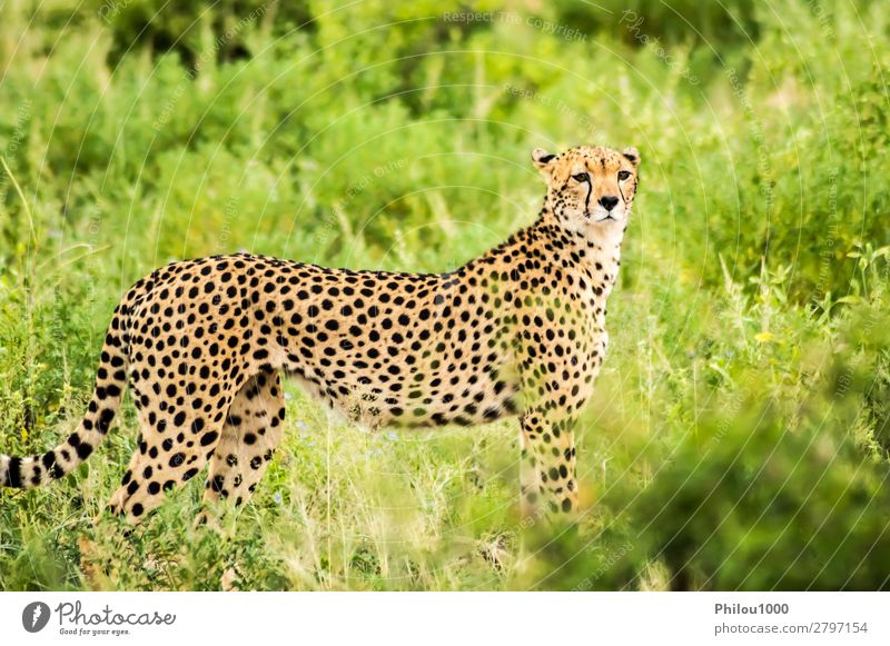 Cheetah walking in the savannah Beautiful Vacation & Travel Safari Nature Animal Park Cat Wild Samburu Africa african animals big Carnivore Kenya Mammal