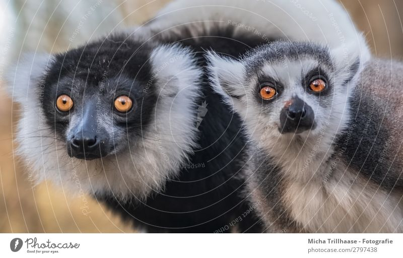 In the view of the monkey duo Nature Animal Sunlight Beautiful weather Wild animal Animal face Pelt Monkeys Ring-tailed Lemur Variegated Lemur Half-apes Eyes