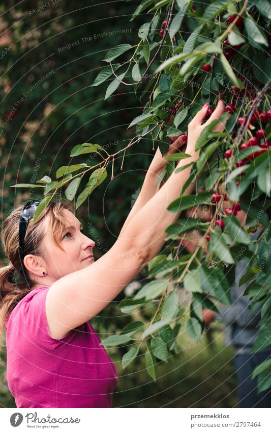 Woman picking cherry berries from tree Human being Nature Summer Green Red Hand Tree Leaf Adults Garden Fruit Fresh Authentic Delicious Seasons