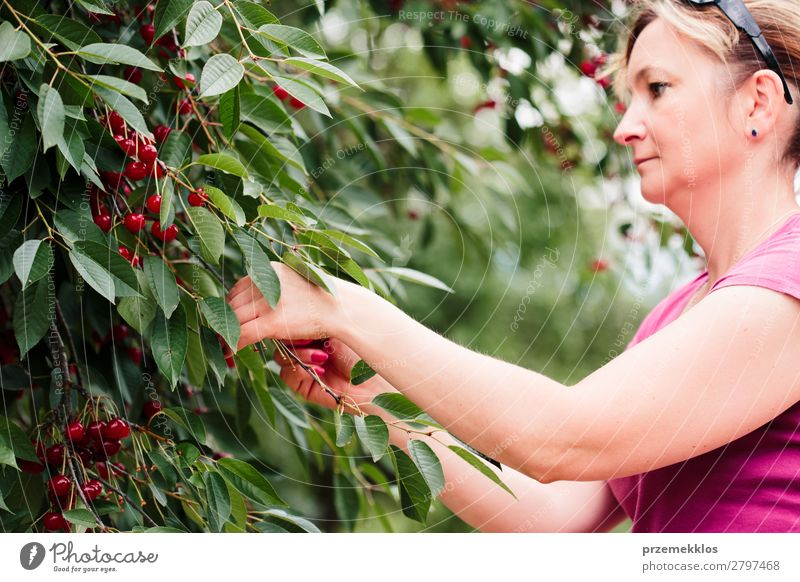 Woman picking cherry berries from tree Fruit Summer Garden Adults Hand 1 Human being 30 - 45 years Nature Tree Leaf Authentic Fresh Delicious Green Red