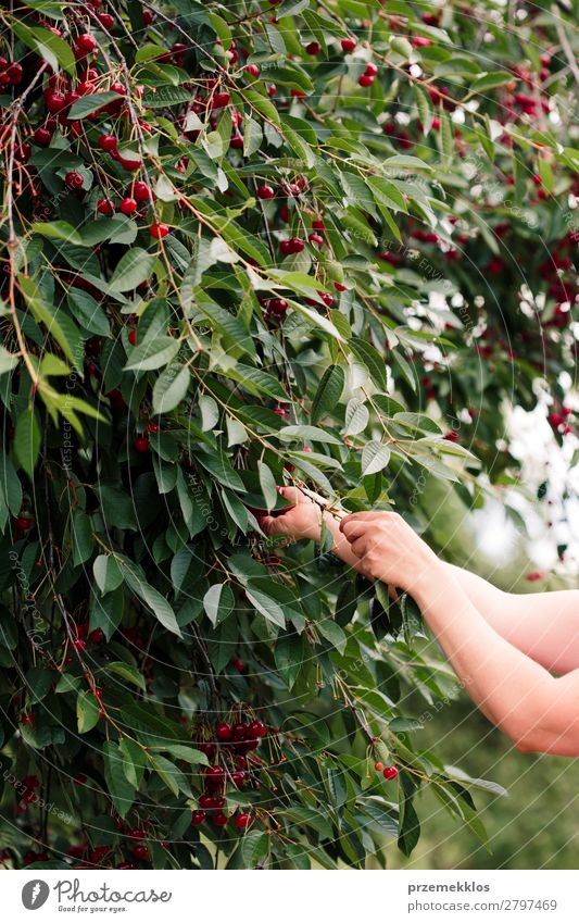 Woman picking cherry berries from tree Fruit Summer Garden Adults Hand Nature Tree Leaf Authentic Fresh Delicious Green Red agriculture Berries Cherry Farm food