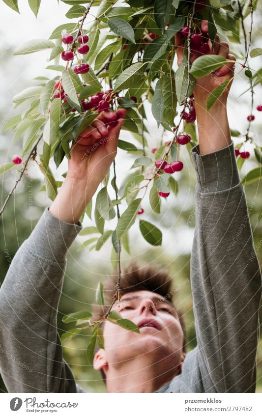 Young man picking cherry berries from tree Nature Man Summer Green Red Hand Tree Leaf Adults Boy (child) Garden Fruit Work and employment Fresh Authentic