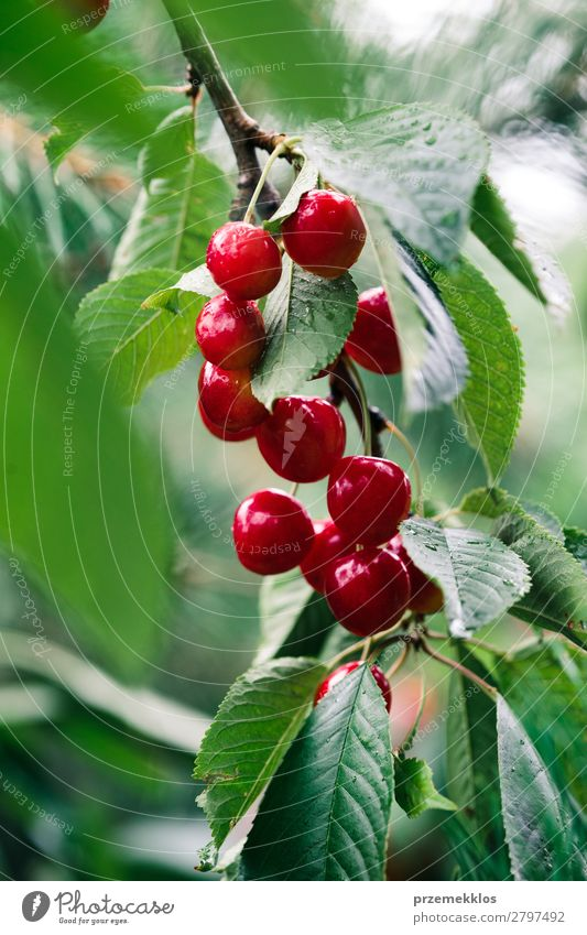 Closeup of ripe red cherry berries on tree among green leaves Nature Summer Green Red Tree Leaf Garden Fruit Fresh Authentic Delicious Seasons Farm Harvest