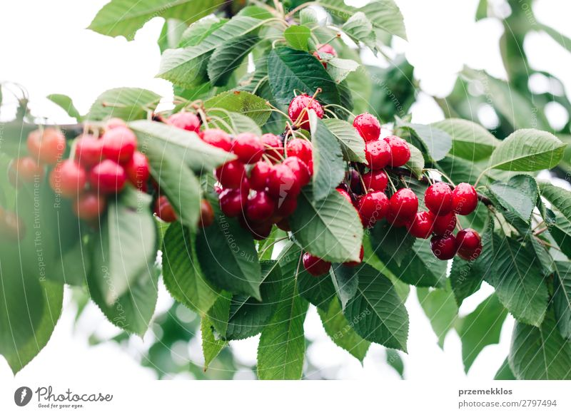 Closeup of ripe red cherry berries on tree among green leaves Fruit Summer Garden Nature Tree Leaf Authentic Fresh Delicious Green Red agriculture Berries
