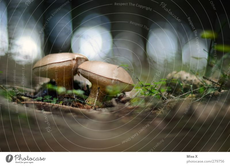 Two little men in the forest Food Nutrition Delicious Mushroom Boletus Forest Woodground Clearing Colour photo Exterior shot Close-up Deserted Copy Space top