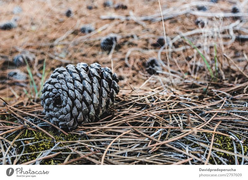Conifer cones sitting on dry pine leaves on the ground Pine cone Wood Leaf Dry Seasons Cone Environment