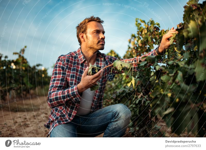 Man in vineyard Winery Vineyard Bunch of grapes Organic bunch Accumulation Harvest Agriculture Green White Rural tasting grab Caucasian Spain Industry Nature