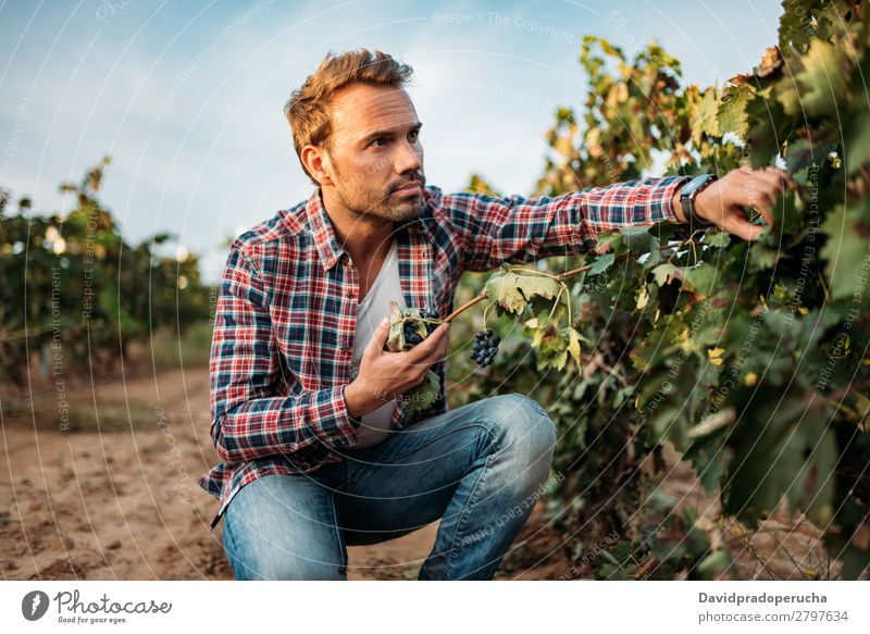 Young man grabbing a grape in a vineyard Winery Vineyard Man Bunch of grapes Organic Accumulation Harvest