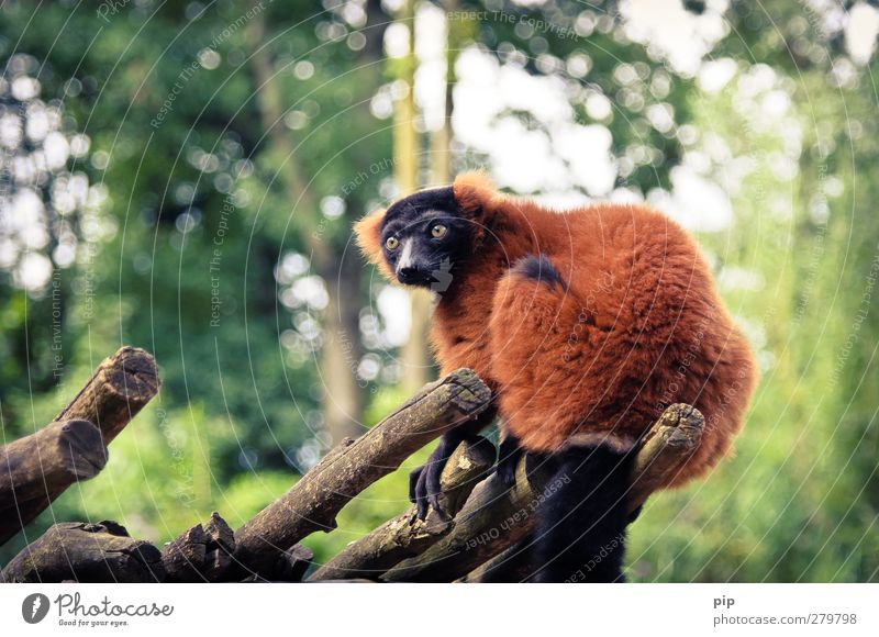 Nature Red Animal Forest Environment Above Funny Wild animal Sit Observe Branch Curiosity Pelt Zoo Brash