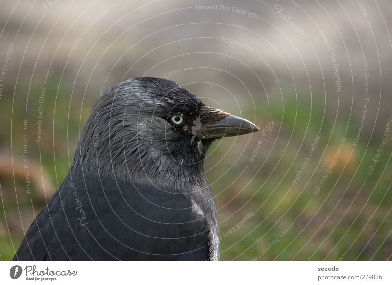 Surveillance (raven) Animal Bird Raven birds Crow 1 Observe Gray Black Cool (slang) Safety Protection Watchfulness Power tranquillity Colour photo Exterior shot
