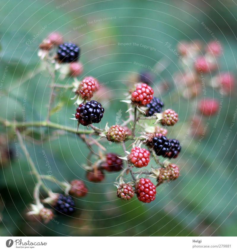 mature... Fruit Environment Nature Plant Summer Bushes Leaf Wild plant Blackberry Blackberry bush Seed head Twig Forest Growth Simple Healthy Small Delicious