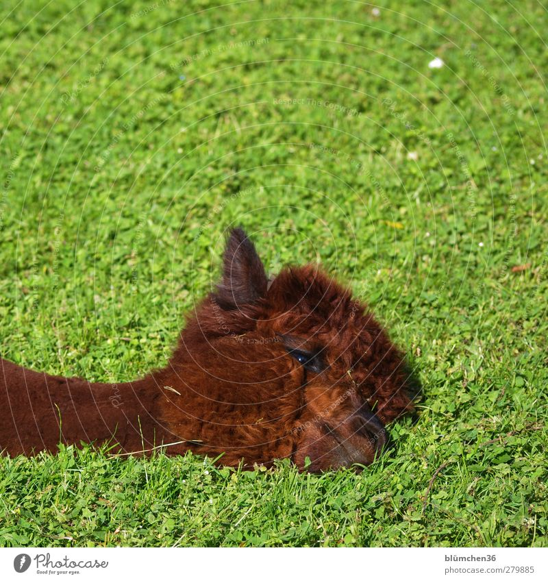 Relaxation Animal Eyes Hair and hairstyles Lie Head Brown Cute To enjoy Break Pelt Ear Animal face Fatigue Mammal Cuddly