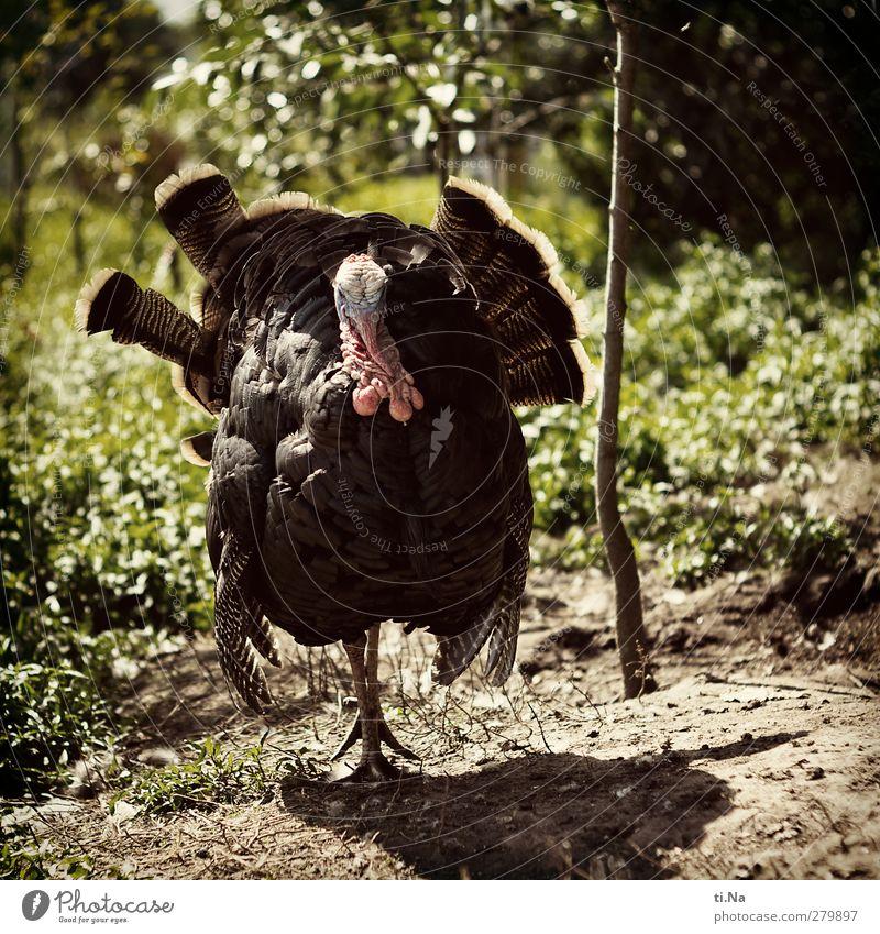 Green Animal Black Large Masculine Observe Pet Farm animal Proletarian Braggart Hen