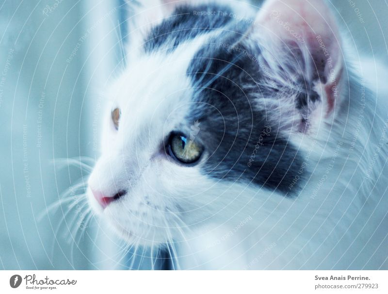 Coon and friends. Window pane Animal Pet Cat 1 Soft Blue Longing Homesickness Wanderlust Whisker Pelt Colour photo Subdued colour Interior shot Deserted