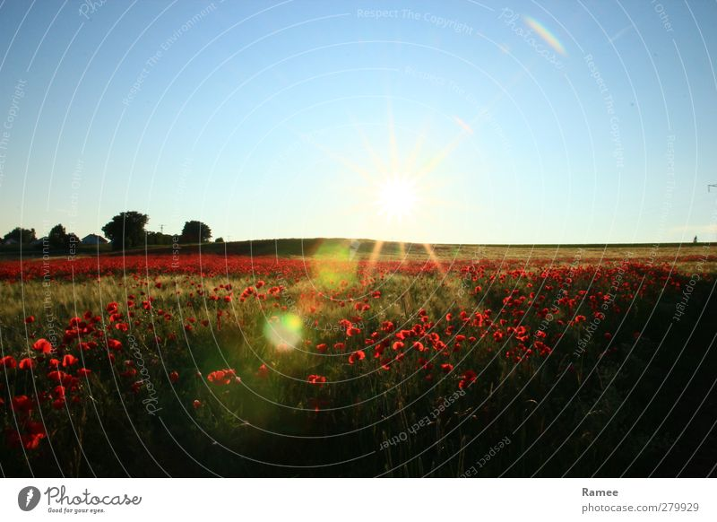 poppy field Nature Landscape Plant Air Cloudless sky Sun Summer Beautiful weather Foliage plant Wild plant Grain field Poppy field Field Glittering Esthetic