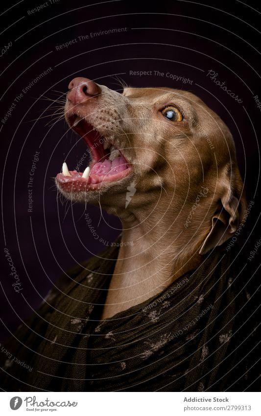 Italian Greyhound dog with Arabian Hijab Dark Costume Friendship Portrait photograph Happiness Italian greyhound Niqab Friendliness Dog Funny Art galgo Happy