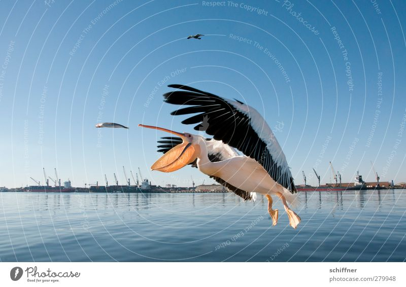 Animal Landscape Happy Bird Flying Wild animal Fish Harbour Catch Crane Feeding Strike Judder Namibia Pelican