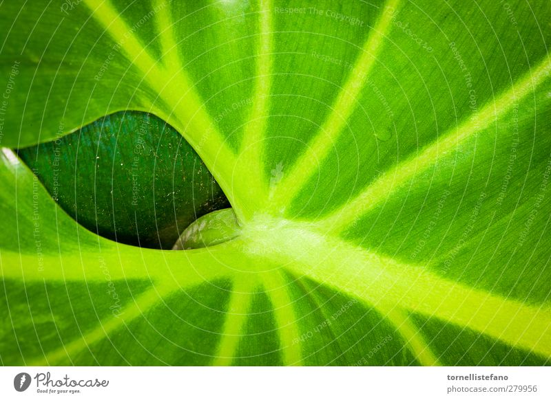 a leaf behind a leaf background Botany Close-up Colour Plant Leaf Green Earth hole Houseplant Nature Veins waxy Delicious