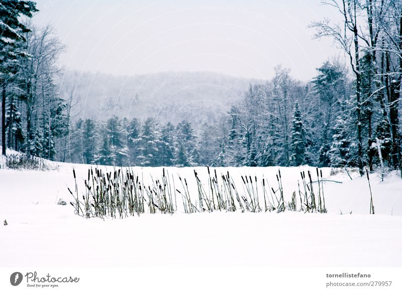 cat tails in snow Nature White Beautiful Plant Tree Clouds Winter Landscape Forest Snow Frost Beauty Photography Seasons Storm Botany Rural