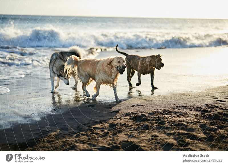 Dogs running near waving sea Beach Playing Ocean Sunlight Running Sand
