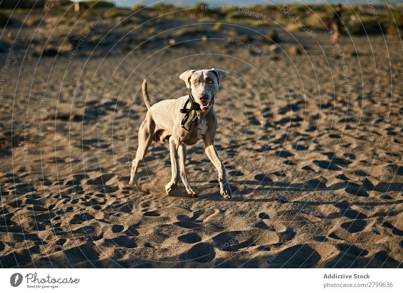 Funny dog on beach Dog Beach Sand Breathe Sunbeam Day Pet Nature Summer Animal Happy Joy Deserted Domestic Purebred Cute Lovely Sweet Coast Rest Relaxation