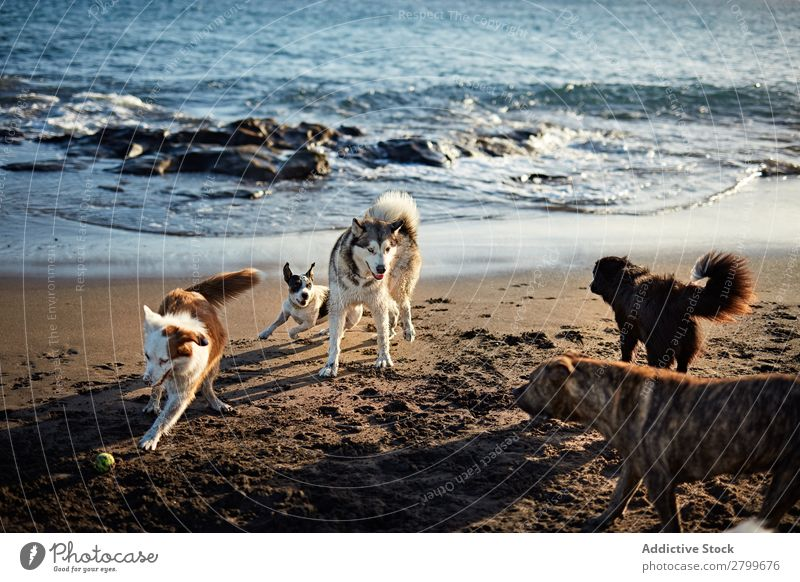 Dogs running near waving sea Beach Playing Ocean Running Sand Funny Sunbeam Day Pet Nature Summer Animal Happy Waves Water Joy Deserted Domestic Purebred Action