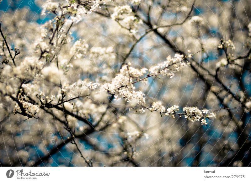 Hiddensee in full bloom Environment Nature Plant Sky Spring Summer Beautiful weather Tree Blossom Agricultural crop Fruit trees Cherry blossom Twig Branch